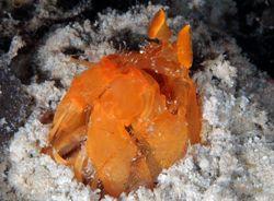 Orange mantis shrimp. D70, 105mm. kapalai,sabah,malaysia. by Frankie Tsen