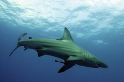 BlackTip Shark, Pinnacles, Ponta Mamoli, taken with Canon... by Roger Horrocks
