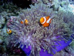 Nemo and family (Anemone Fish) by Ryan Stafford