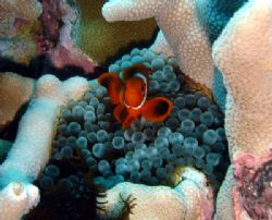 Anenome Fish protecting home. Great Barrier Reef 2006. by Jeffrey M Owen