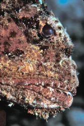 Beauty's in the Eye... Profile of a scorpionfish. 105mm m... by Laszlo Ilyes