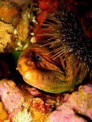 Yellow moray eel. by Jayne Dennis