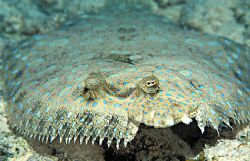 On Edge - Peacock Flounder on Calabas Reef, Bonaire using... by Laszlo Ilyes