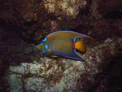 I love the way this angelfish almost glows. Exuma Islands... by Allyssa Arnold