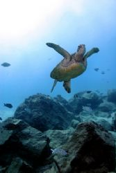 Yes, another Honu...Green Sea Turtle, west shore Oahu...s... by Glenn Poulain