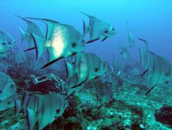 Batfish in all their splendour by Gordana Zdjelar