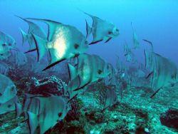 Batfish in all their splendour by Gordana Zdjelar