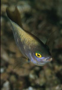 Wrasse by Luc Eeckhaut