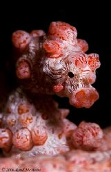 The Bar Tender. Lembeh Straits. D2x 105mm, 2xteleconverter by Rand Mcmeins