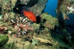 Coral Trout & the Lionfish- wideangle, Nik V 15mm lns Fuj... by Shane Clancy
