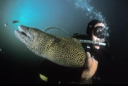 Diver and very friendly moray eel getting to grips with e... by Fiona Ayerst
