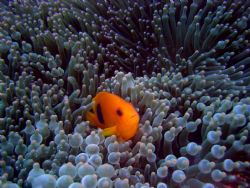 Tomatoe Anemone Fish by Ryan Stafford
