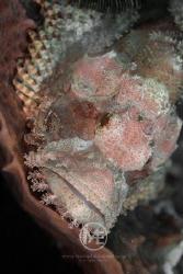 Scorpionfish by Arno Enzo