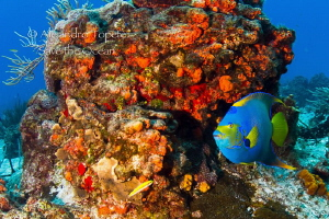 Queen Angel Fish in Cozumel by Alejandro Topete