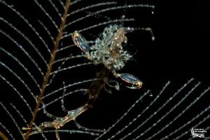 Skeletonshrimp and its breed :-D by Daniel Strub
