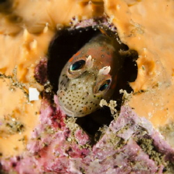 Chilean mussel blenny from patagonia fjord. by Thomas Heran
