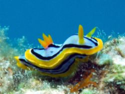 Nudi- Great Barrier Reef c5060 Light and Motion housing M... by Joshua Miles