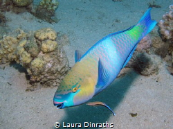 Parrotfish and cleaner wrasse by Laura Dinraths