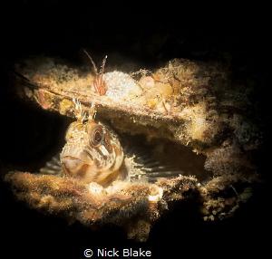 A Tompot Blenny resides inside an empty shell - Selsey Li... by Nick Blake