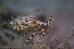 Blue-ringed octopus on sea grass by Arno Enzo
