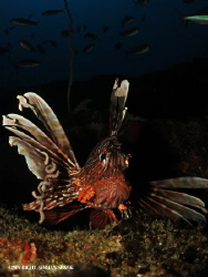 Lionfish @ the depths of Atlantis by Adrian Slack