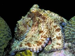 A Proud Octopus - A bright-eyed Octopus vulgaris seems to... by Laszlo Ilyes