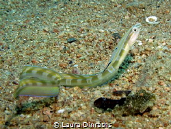 Snake blenny out on the sand during daytime by Laura Dinraths