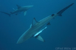 Oceanic blacktips taken on Aliwal shoal, South Africa Apr... by Phil Wills