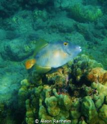 Hawaiian Triggerfish by Alison Ranheim
