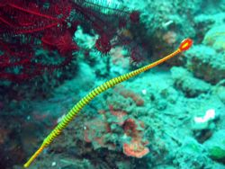 Pipefish taken at Bali, Indonesia by Dennis Siau