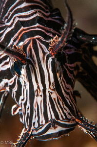Lionfish portrait. by Mehmet Salih Bilal