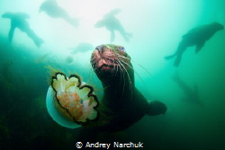 Horde of steller sea lion plays with me and jellyfish. B... by Andrey Narchuk