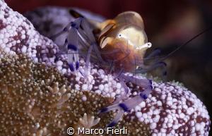 Peacock tail Shrimp by Marco Fierli