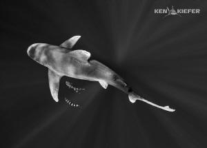 Oceanic Whitetip from above by Ken Kiefer