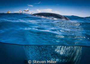 holding still for me- I think they are gulping eggs in a ... by Steven Miller