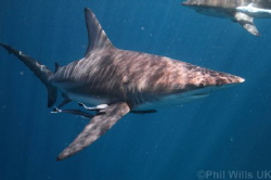 Oceanic blacktips taken at Aliwal Shoal, South Africa clo... by Phil Wills