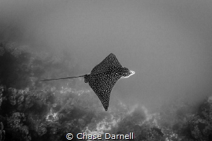 """""""The Moment""""  Spotted Eagle Ray, North Wall Grand Cayman by Chase Darnell"""