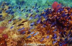 Purple Fish Parade! by Alison Ranheim