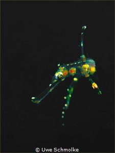 almost transparent - juv Ghostpipefish by Uwe Schmolke