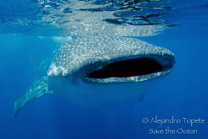 Whaleshark with Scar, Isla Contoy Mexico by Alejandro Topete