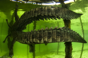 Crocodylus acutus_6 by Mathieu Foulquié