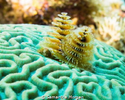 Christmas Tree Worms, Macro, East End Cayman Islands by Samantha Morgan