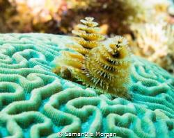 Christmas Tree Worms, Macro, East End Cayman Islands by Samantha Morgan