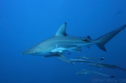 Oceanic blacktip and followers. Aliwal Shoal, South Afric... by Phil Wills