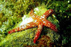 Starfish - Catalina Island, CA. by Dallas Poore
