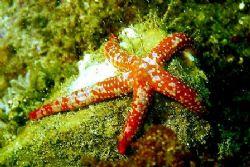 Starfish - Catalina Island, CA. by Dallas Poore
