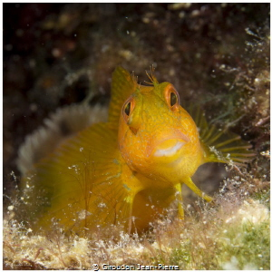 Yellow blennius by Giroudon Jean-Pierre