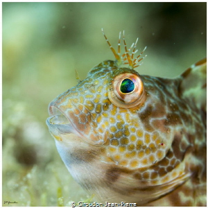A blennius by Giroudon Jean-Pierre