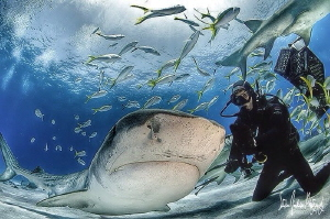 This is how you cha cha cha with a Tiger Shark by Steven Anderson
