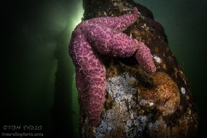 Warty Seastar